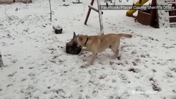 K9 dog and brother roll around snowy yard