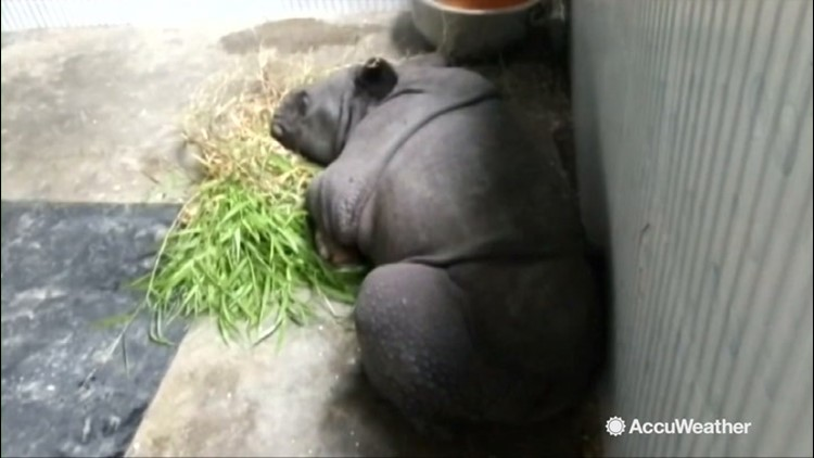 Baby rhinos rescued as flooding in India continues