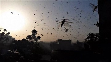 Oh no! Desert locusts swarm and destroy crops