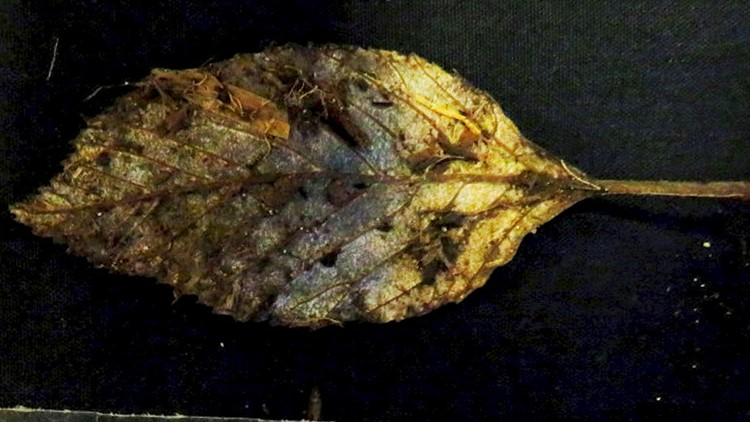 Archaeologists Unearth 6,000-Year-Old Leaf in Perfect Condition