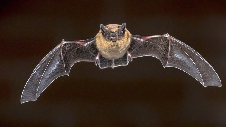 Bats Inherently Know the Speed of Sound at Birth, Experiment Shows
