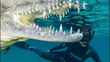 A Diver Goes on A Swim With Massive Crocodiles