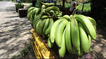 Banana industry worried: Fungus in Colombia threatens most popular variety