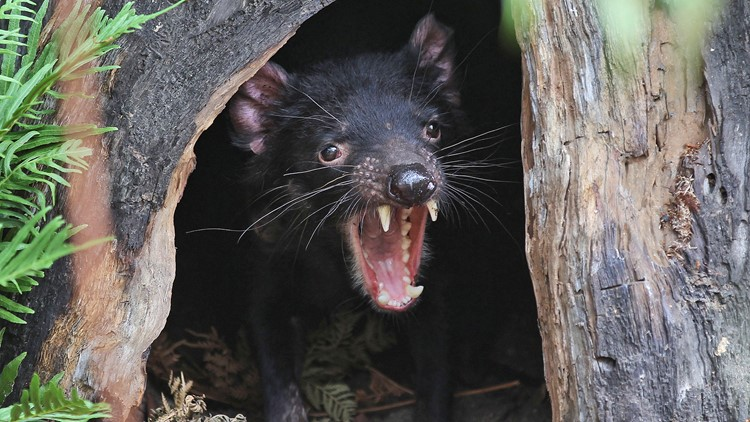 Watch Tasmanian devils return to Australian mainland for 1st time in 3,000 years
