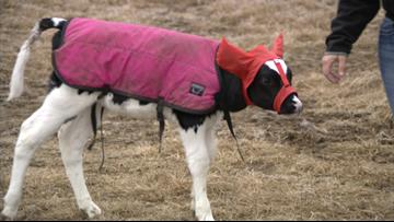 Wisconsin woman upgrades earmuffs for calves