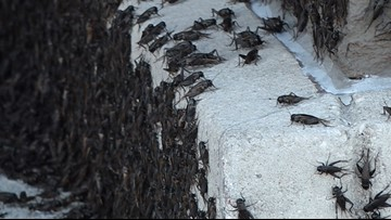 Insect invasion! Why are crickets swarming San Antonio?