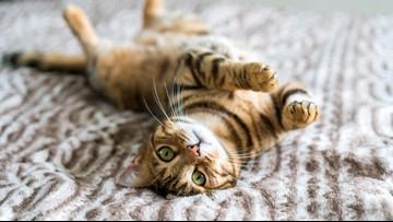 Your cat may be a jerk but it really does love you, Oregon State study says
