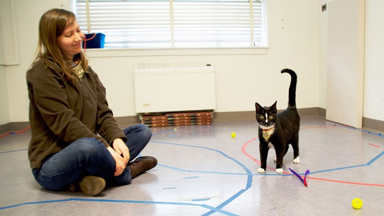 A cat displays secure attachment behavior with researcher Kristyn Vitale in the Human-Animal Interaction Lab at Oregon State University.