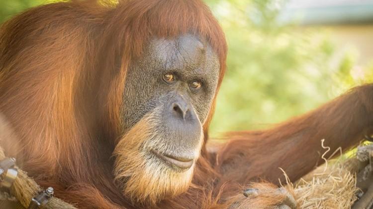 World's oldest known orangutan dies at Oregon Zoo at age 61