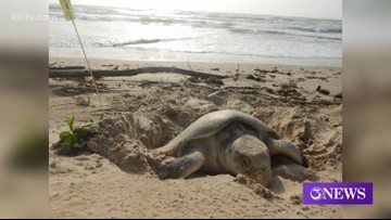 Concerns over high number of stranded sea turtles along Texas coast