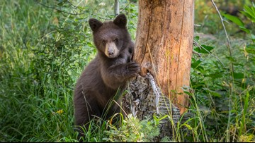 Bear killed by electric shock while climbing utility pole