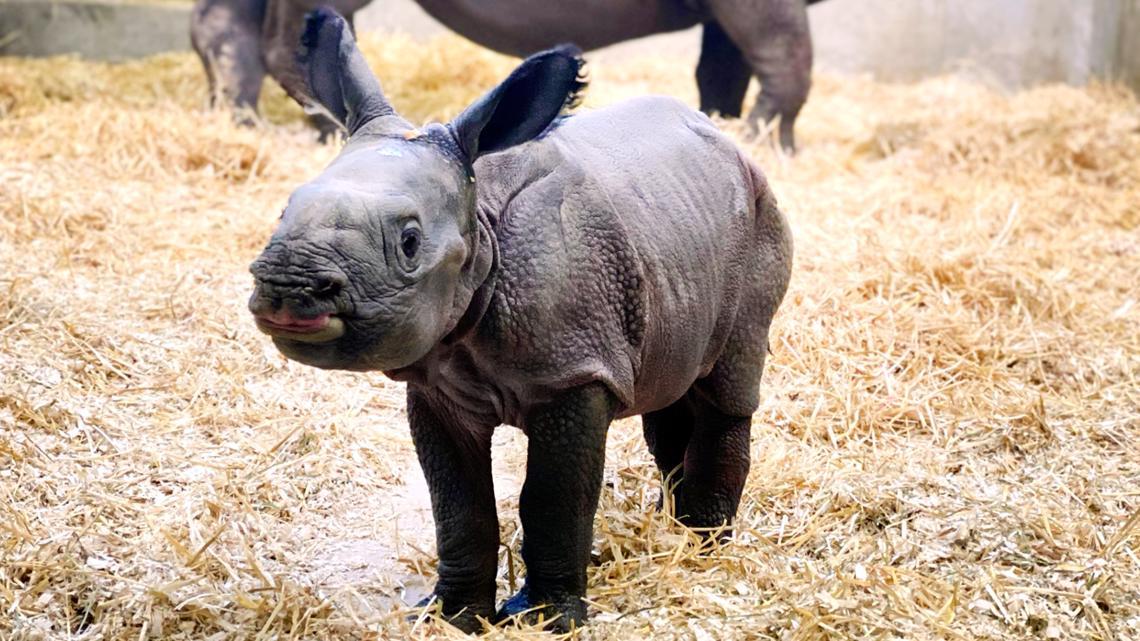 Denver Zoo reveals newborn rhino calf  newswest9.com