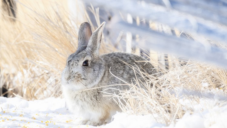 Highly-concerning rabbit disease found in Colorado