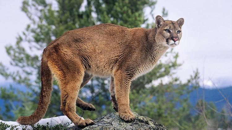 mountain-lion-final_1527523918733.jpg