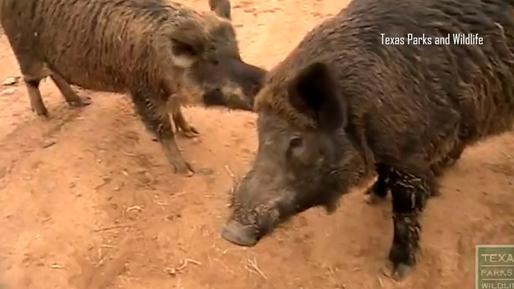 New feral hog contraceptive bait released to 'curb population growth'