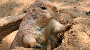 City of Midland plans to relocate prairie dogs