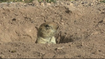 Prairie dogs humanely removed from Indiana island