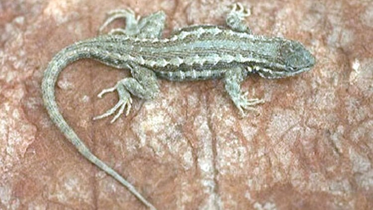 Two New Mexico Senators Trying to Delay Lizard Ruling