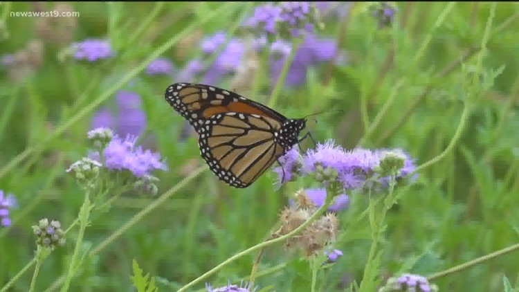Monarch Butterflies have returned to West Texas