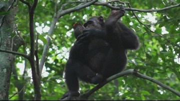 Scientists amazed at future-oriented cognition of observed chimps in wild