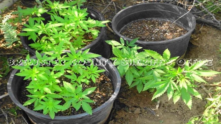 54-Year–Old Woman Arrested for Growing 60 Marijuana Plants
