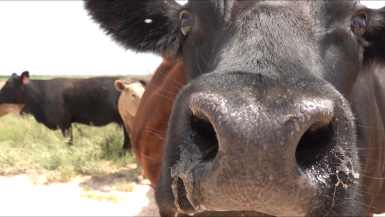 West Texas ranchers rejoicing after record rainfall
