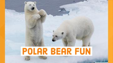 Watch the polar bears play on virtual time