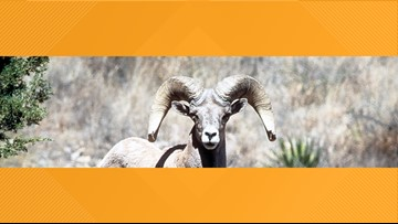 Big Bend National Park closing portions temporarily to protect Desert Bighorn Sheep