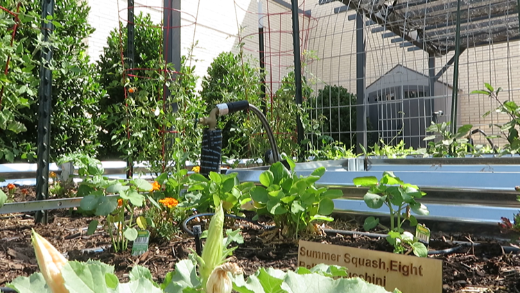 Odessa College Atmos Energy Pantry Gardens provides organic produce to students and staff