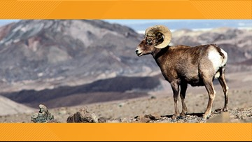 Bighorn sheep can rest easy at Big Bend thanks to joint operation