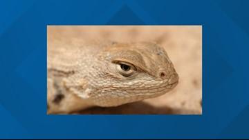 Conservation groups plan to sue Trump Administration over dunes sagebrush lizard