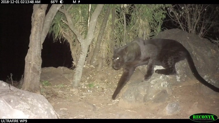 Rare 'black panthers' captured on camera in Kenya