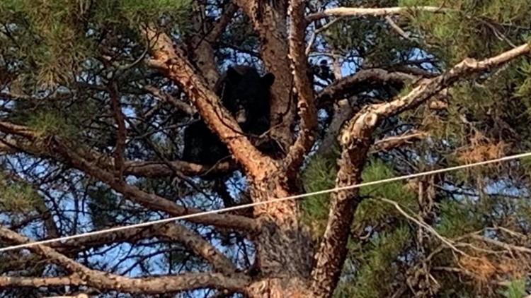 Black bear spotted in Alpine