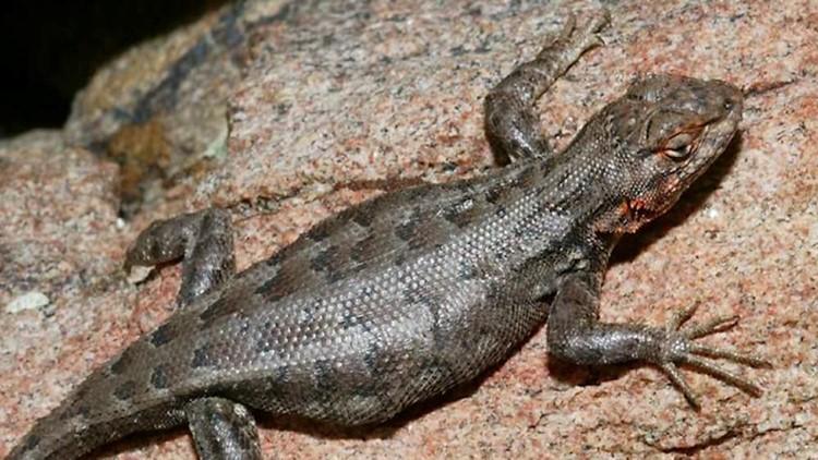 Senator Kel Seliger to Hold Meeting Regarding Dunes Sagebrush Lizard