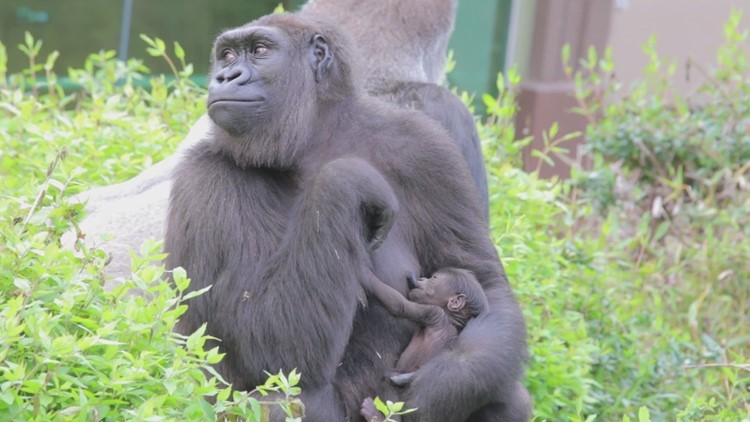 Meet the newest baby gorilla born at the Dallas Zoo