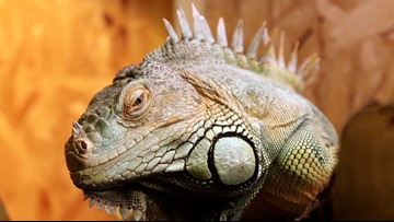 Cold Temperatures in Florida Have Freezing Iguanas Falling Out of Trees