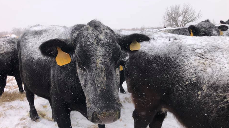 'We're just not set up for situations like this': Texas farmers fighting to keep cattle alive through winter storm