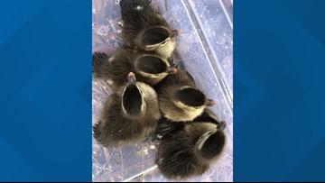 QUACK! 🦆   JFRD rescues 'adorable' flock of ducklings