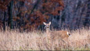CDC warns hunters deer carrying tuberculosis strain can pass it to people